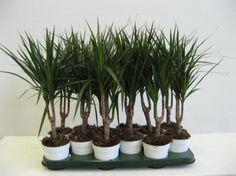 9 комнатных растений, которые отлично чистят воздух Драцена