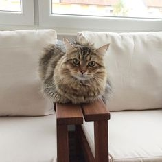 Sitting and relaxing :) #siberiancat #catsofinstagram #catstagram #pawsome #catoftheday #lion #cat_features #catsofworld #excellent_cats #topcatphoto #bestmeow #meowbox #meowvswoof #topheycat #gato #chat #cats_of_instagram #ilovemycat #cutepetclub #pets_perfection #petscorner #lovecats #instacat #catstagram #cat #katze #victorthecat