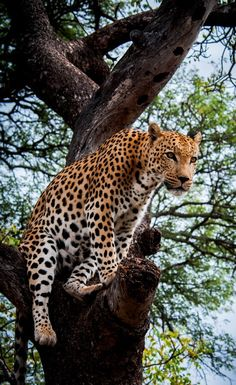 Leopard looking down from a tree in South Africa  by Richie Hayward Photography