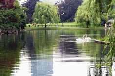 Swans in the Garden Boston Public Garden, Swans, Nature, Swan, Naturaleza, Nature Illustration, Scenery, Natural
