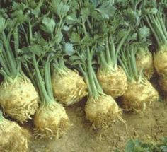 a-gyogyito-zeller - Cikkek Zeller, Green Beans, Vegetables, Vegetable Recipes, Veggies