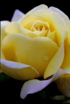 Rose 'Peace'   The Peace Rose is Truly my Favorite of All.