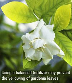 If you have spotted a few yellow leaves on your gardenia plant, quit worrying. This Gardenerdy article will tell you why yellowing occurs in gardenia leaves, and how you can stop it. Gardenia Care, Gardenia Bush, White Gardenia, Diy Garden, Garden Plants, House Plants, Plants Indoor, Vegetable Planting Guide, Planting Vegetables