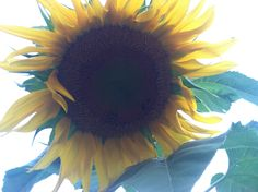 Jessica Jeffries sunflower , started a site on fb called sunflower dreams....