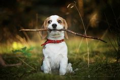 My beagle brought a branch this big through the doggie door.  She's so funny!! And takes her toys/bed outside:)