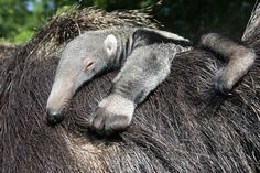 Post with 148 views. A newborn Anteater baby relaxes on its mother's back at Bergzoo Halle, Germany. Animal Magic, Animal 2, Mundo Animal, Animal Babies, Rare Animals, Animals Images, Animal Pictures, Wild Animals, Giant Anteater