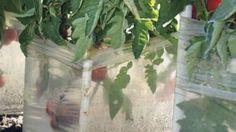 Pestovanie rajčiakov v klimatizačnej jednotke má svoje výhody