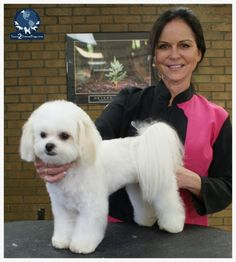 This is one of the most popular haircuts you can do in your salon. It fits a wide range of coat types and it's great for purebreds or mixed breeds. Maltese Haircut, Puppy Haircut, Maltipoo Haircuts, Dog Haircuts, Pixie Lang, Happy Paw, Puppy Cut, Blonder Bob, Maltese Dogs