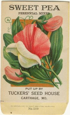 Vintage Flower Seed Packet Tuckers Seed House Lithograph SWEET PEA