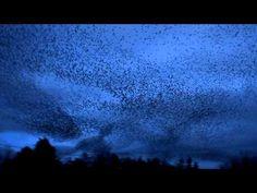 ▶ An amazing Starling Murmuration, Galway Ireland 2013 HD - YouTube