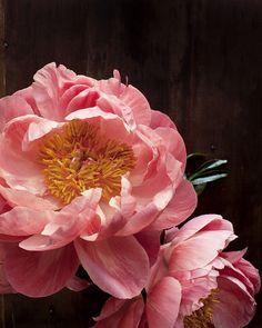 Flowers photography dark peonies ideas for 2019 My Flower, Fresh Flowers, Beautiful Flowers, Colorful Roses, Pink Flowers, Peach Peonies, Wedding Flowers, Plants, Paper Size