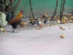 El papa gallo. Spain