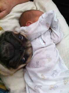 And they're perfectly comfortable stealing the limelight when it rightfully belongs to them. | 41 Reasons Why Pugs Are The Most Majestic Creatures On Earth
