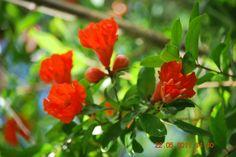 Flor de Romãs