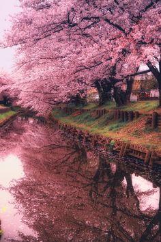 Miharu Taki-Zakura is one of the three greatest cherry blossom trees in Japan. And the full-bloom Miharu Taki-Zakura is impressively beautiful. Wonderful Places, Beautiful Places, Beautiful Pictures, Beautiful World, Beautiful Gardens, Simply Beautiful, Landscape Photography, Nature Photography, Scenic Photography