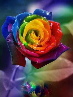 A beautiful and colorfu rose.