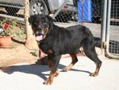 Digger, #Rottweiler, 5 Jahre (?), verträglich, wurde vernachlässigt