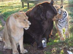 GALERIE: Neobvyklé přátelství! Lev, medvěd a tygr bez sebe už 15 let neudělají ani krok | FOTO 10 | Blesk.cz