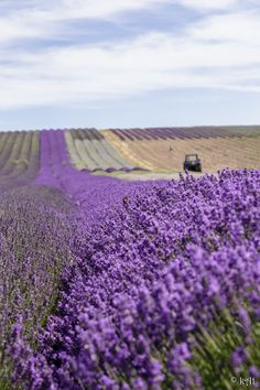 these are their lavender fields The Purple, Purple Roses, Lavender Cottage, Lavender Green, Lavender Fields, Purple Wisteria, Planting Flowers, Beautiful Flowers, Nature