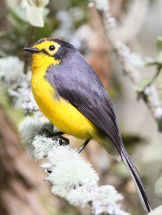 Kinds Of Birds, All Birds, Love Birds, Pretty Birds, Beautiful Birds, Flycatchers, Colourful Birds, West Art, Cardinal Birds