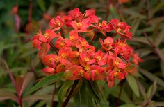 Euphorbia griffithii 'Fireglow' is a vigorous rhizomatous perennial with upright stems clothed in narrow, red-tinged leaves and showy orange-red flowers in early summer
