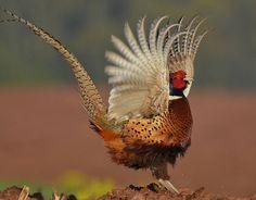 Ring-Necked Pheasant. Photo by nomoredarkroom