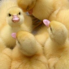 Fluffy baby ducks