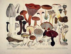 Lifelike Illustrations and descriptions of edible Mushrooms. By Krombholz, JV,cs . 1831 on Flickr. Via Flickr: Contributing Librar...