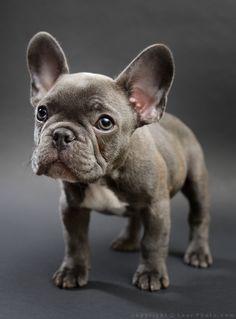 Finn, a Blue French Bulldog Puppy, Photo by Photographer Matt Laur
