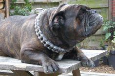 Name: Heavy CJ (male)*Breed: Hermes Bulldog*Owner: D'ArlingBulls - R. Gepken*www.Staffs-Exclusives.com