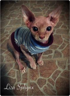 Crazy Cat Lady, Crazy Cats, Devon Rex, Sphynx Cat, Naked, Cute Animals, Kitty, Beautiful, Drawings