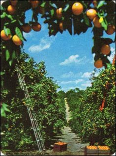 Orange Grove ~ Swampy's Florida Historic Photos: Oranges in the Land of Sunshine, 1960 Florida Girl, Old Florida, Vintage Florida, Orange Sanguine, Florida Oranges, Orange Grove, Citrus Trees, Orange Aesthetic, Fruit Plants