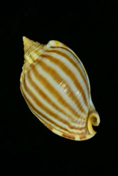 條紋鬗螺 Striped Bonnet Phalium flammiferum Roding, 1798 44mm 臺灣
