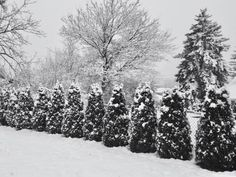 How to plant Emerald Green Arborvitae privacy trees (distance, etc) Arborvitae Landscaping, Green Giant Arborvitae, Privacy Fence Landscaping, Arborvitae Tree, Emerald Green Arborvitae, Thuja, Privacy Trees, Small Yard Landscaping, Landscaping