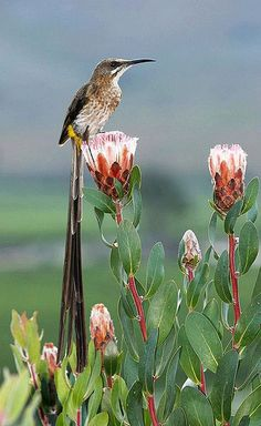Cape sugarbird from South Africa. It seems like he would have trouble flying with such an outsize tail.