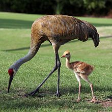 Google Image Result for http://upload.wikimedia.org/wikipedia/commons/thumb/8/8c/Grus_canadensis_-adult_and_chick-8.jpg/220px-Grus_canadensis_-adult_and_chick-8.jpg