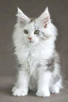 Interested in owning a Maine Coon cat and want to know more about them? The Maine Coon kitten adoption will Cute Baby Cats, Cute Cats And Kittens, Cute Baby Animals, Cool Cats, Kittens Cutest, Cutest Cats Ever, Adorable Babies, Pretty Cats, Beautiful Cats