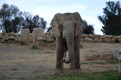 L'éléphant statique. Réserve africaine de Sigean, France. 2013.  © Lucile PUYBONNIEUX
