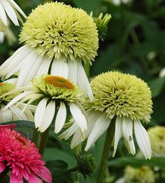 Echinacea purpurea 'Coconut  Lime'. Attracts butterflies. Zone 5-9.