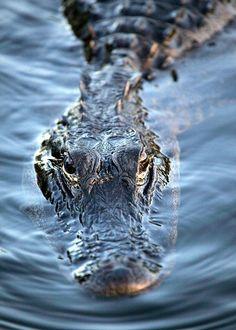 Alligator Close Up. Florida wildlife.