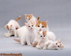 Turkish Van Cats by © Warren Photographic, via ofcats.com
