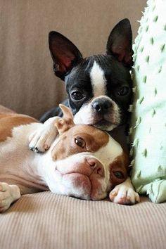 2 beautiful Boston Terriers