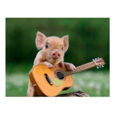 This guy who is ready to impress with his great guitar skills. Perhaps the new John Mayer of micro pigs. 22 Micro Pigs Who Are Having A Better Day Than You Cute Baby Pigs, Cute Piggies, Cute Baby Animals, Funny Animals, Baby Piglets, Animal Memes, Farm Animals, Animal Pictures, Funny Pictures