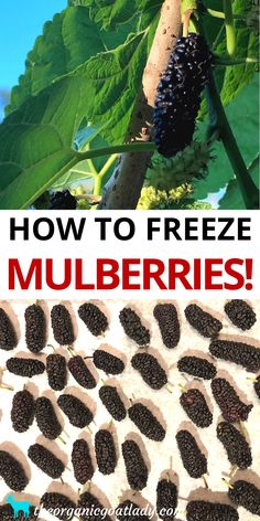 How to Preserve Mulberries, Preserving Food, Freezing Food, Food Preservation, Self Sufficiency Home Canning Recipes, Canning Tips, Crock Pot Freezer, Freezer Food, Freezer Recipes, Cherry Fruit Tree, Fruit Trees, Mulberry Pie, Healthy Food Choices