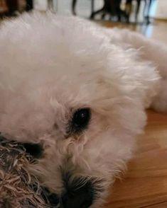 Cortes Poodle, Dog Haircuts, Bichons, Cute Little Animals, Bichon Frise, Hair Cuts, Daughter, Pets, Haircuts