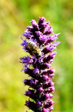 A bee on a purple flower.