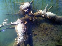 Triple Tragedy — Three Ohio Bucks Found Drowned With Antlers Locked.