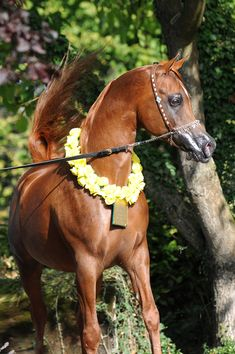 F SHAMAAL  (Maysoun x Sarameena)  2000 Chestnut Straight Egyptian Stallion