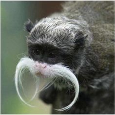 mr moustache - you will call him Sir