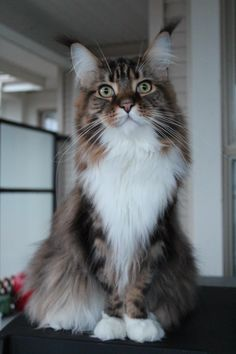 Tequila, Maine Coon. Look at the lynx tips on his ears.